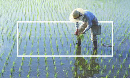 Japanese farmer tending the rice paddy Concept Stock Photo