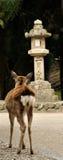 Japanese fawn and column Stock Photos