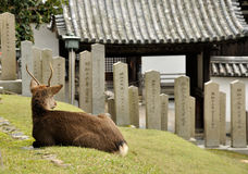 Japanese fawn and temple stock image