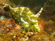 Japanese filefish 03 Royalty Free Stock Photography