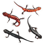 Japanese fire belly newt isolated on white Royalty Free Stock Photo