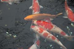 Japanese fish carp koi swimming. Fancy carp fish. Japanese fish carp koi swimming. Fancy carp fish in pond. Zen garden Royalty Free Stock Photography