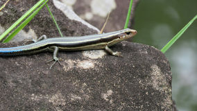 Japanese five lined skink with blue tail Stock Photos