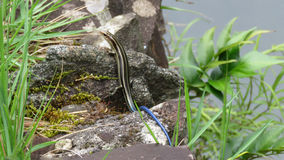 Japanese five lined skink with blue tail Stock Images