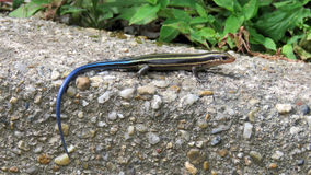Japanese five-lined skink Stock Photo