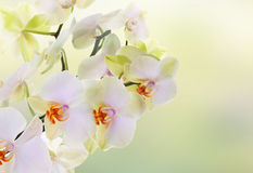 Japanese flower Orchid. Beauty Royalty Free Stock Photo