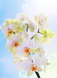 Japanese flower Orchid.Beauty flora Stock Images