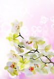 Japanese flower Orchid Royalty Free Stock Image