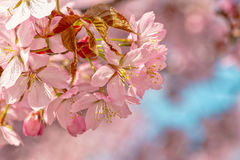 Japanese flowering cherry. On a cluster with buds - Prunus Accolade on bright background royalty free stock photos
