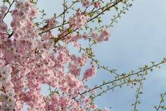 Japanese flowering cherry Royalty Free Stock Photo