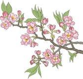 Japanese flowering cherry Stock Photos