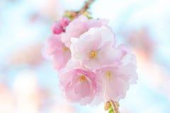Japanese flowering cherry - Prunus Accolade. Japanese flowering cherry in a cluster - Prunus Accolade on bright background stock photos