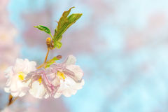 Japanese flowering cherry. On a twig with buds - Prunus Accolade on bright background Royalty Free Stock Image