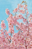 Japanese flowering Cherrytree Stock Photography