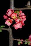 Japanese flowering quince Royalty Free Stock Photography