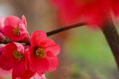 Japanese flowering quince Stock Images