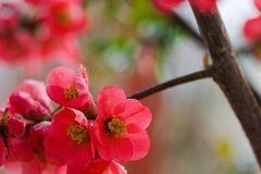 Japanese flowering quince Royalty Free Stock Images