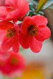 Japanese flowering quince Royalty Free Stock Image