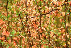 Japanese flowering quince (Chaenomeles japonica) Royalty Free Stock Images