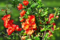 Japanese flowering quince Royalty Free Stock Photo
