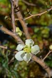 Japanese Flowering Quince. White Japanese Flowering Quince - Latin name - Chaenomeles japonica stock photos