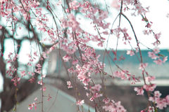 Japanese flowers sakura on tree with Zojoji Temple close to Tokyo tower on March 30, 2017 Royalty Free Stock Image