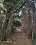 Japanese Forest Path. A mysterious forest path in Japan flanked by cedars and pines Royalty Free Stock Image