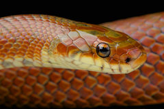 Japanese forest rat snake / Euprepiophis conspicillatus Stock Photos