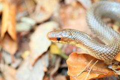 Japanese Forest Ratsnake Royalty Free Stock Images