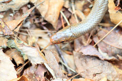 Japanese Forest Ratsnake Stock Photography