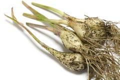Japanese fresh scallion root with soil #2 Stock Photo