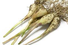 Japanese fresh scallion root with soil Stock Image