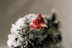 Japanese Frizzle chicken Stock Photography