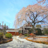 Japanese Garden. With spring cherry blossom tree Royalty Free Stock Photo