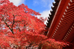 Japanese garden in Autumn, red leaves. Kyoto Japan. Royalty Free Stock Image