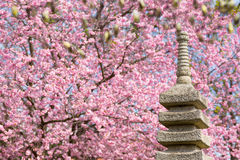 Japanese Garden with blooming cherry tree Royalty Free Stock Photos