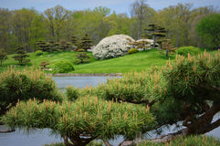 Japanese Garden. A Bonsai tree hanging over the lake in the Japanese Garden at the Chicago Botanical Gardens in Glencoe, IL Royalty Free Stock Photo