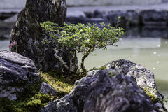 Japanese Garden. Bonsai standing at the water of a japanese garden Stock Images