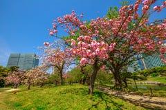 Japanese garden Cherry blossom Stock Photography