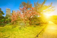 Japanese garden Cherry blossom Royalty Free Stock Image