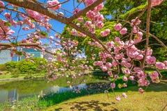 Japanese garden Cherry blossom Stock Photos