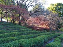 Japanese green tea garden hedge rows at the Imperial east gardens in downtown Tokyo. Neat rows of green tea hedges at a downtown Japanese garden park in Tokyo Royalty Free Stock Photos
