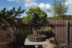 Japanese garden, ikebana, pine.  Japan, Japanese culture Royalty Free Stock Photography