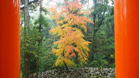 Japanese Garden and Japanese autumn foliage. Japanese autumn foliage, heavenly gate Kyoto, Fushimi Inari Taisha Kyoto Stock Photos