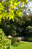 Japanese garden with Japanese maple Stock Images
