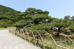 Japanese garden with pine trees Royalty Free Stock Images