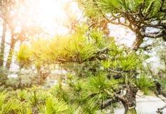 Japanese Garden. Selective focus of Pine tree in Japanese Garden Stock Photography