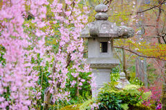 Japanese garden with stone lantern. And weeping sakura Royalty Free Stock Photography