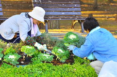 Japanese gardener. Who work for Tsukuba City Council planted vegetable suitable for winter season in the Matsumi Park Royalty Free Stock Image