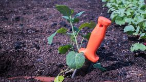 Hori Hori in Vegetable Garden stock image